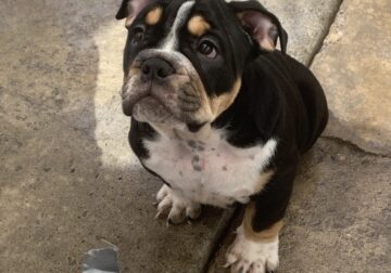 English bulldog tri boy puppy