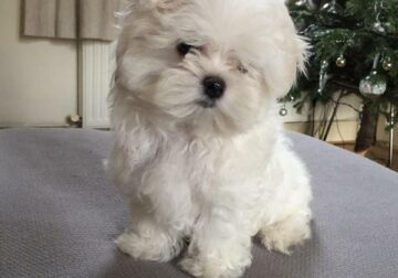 Quality Teacup Maltese Puppies For Sale