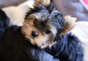 Too Cute For Words Tinny Yorkshire Terrier Puppies