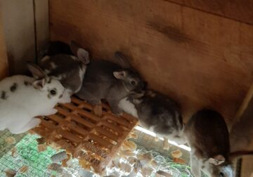 Mini rex rabbit bunnies