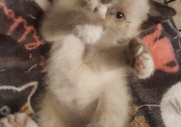 Polydactyl Manx and Polydactyl Kittens