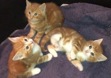 Beautiful Colored Maine Coon Kittens For Sale