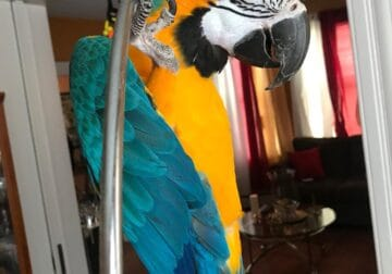 Macaws and Parrots available for Rehome