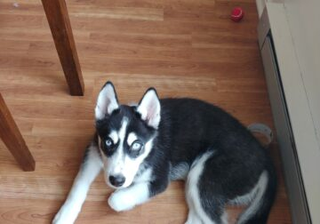 4 month old siberian husky
