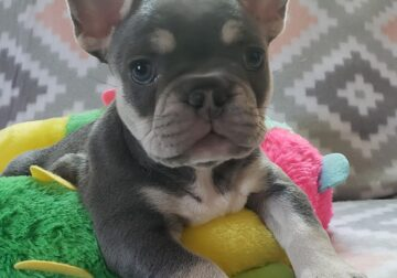 BLUE TAN TRICOLOR MALE FRENCHIE!!!