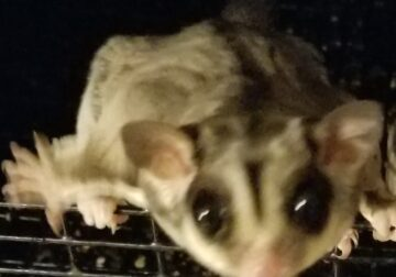 SUGAR GLIDER/POCKET PET