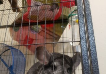 Sweet female chinchilla needs home asap OREGON