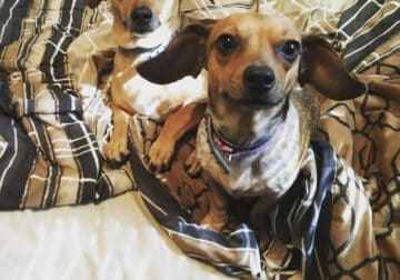 Chiweenie: Free to Good Home