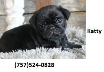 Precious French bulldog puppies are available