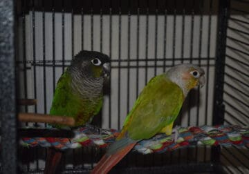 Conures regular and pineapple bonded