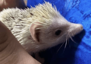 Baby hedge hog