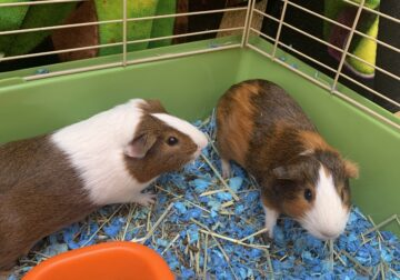 2 Male Guinea Pigs- 5 months old to a good home