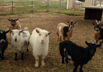 Nigerian Dwarf Goats for Sale