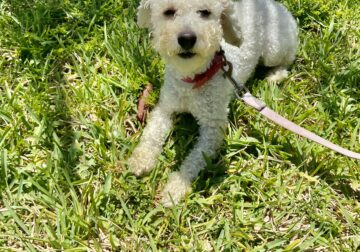 Adorable Toy Poodle for Sale