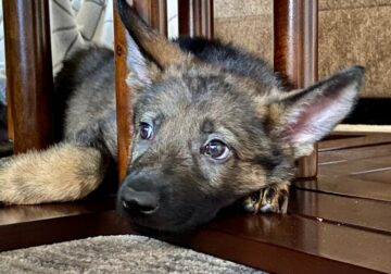 Sable German Shepherd Puppy Female For Sale