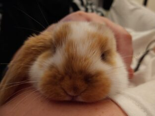 3 mo old Holland lop bunny, with or without hutch