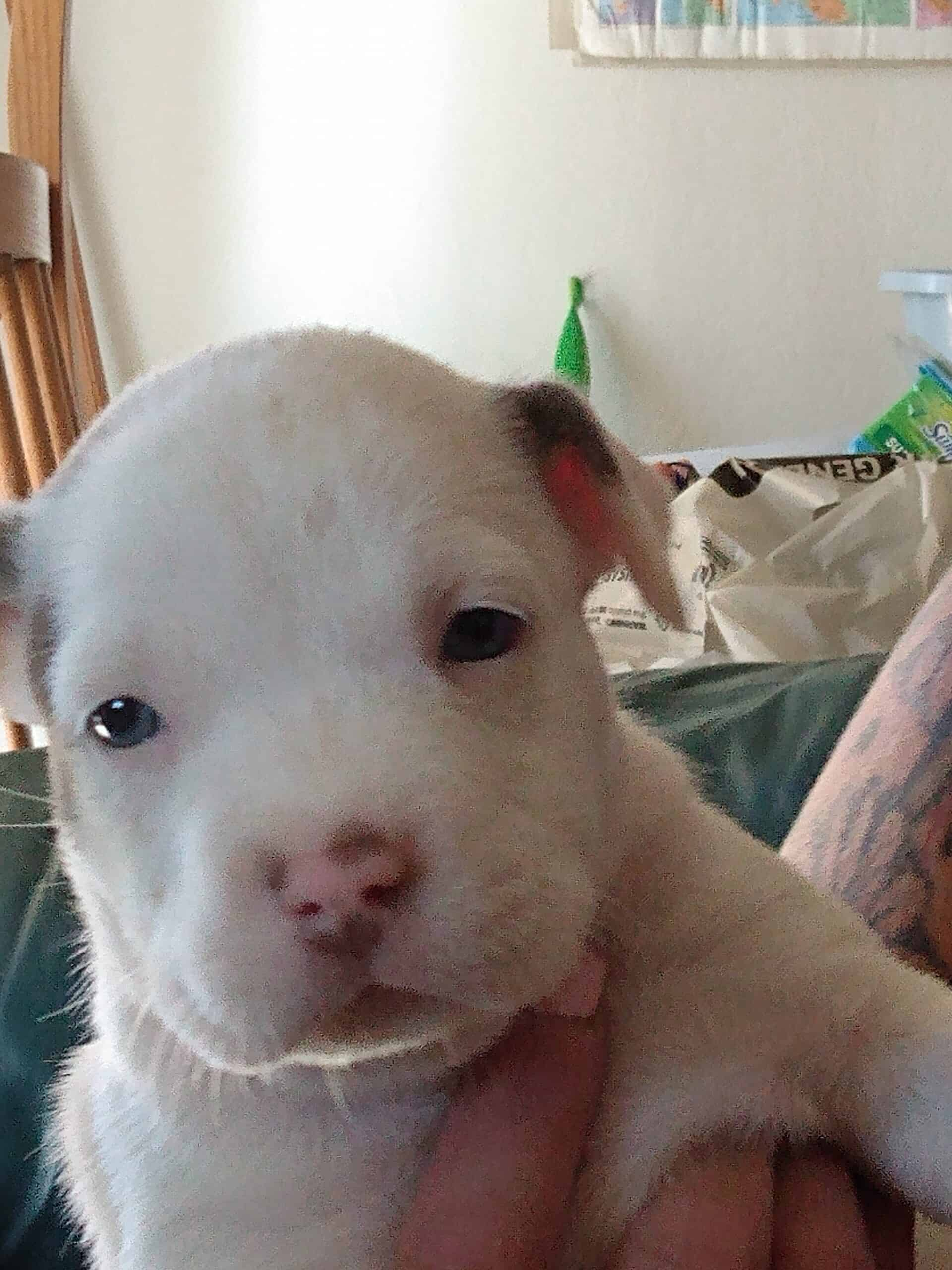 Red Nose Pitbull Puppies For Sale Petclassifieds Com
