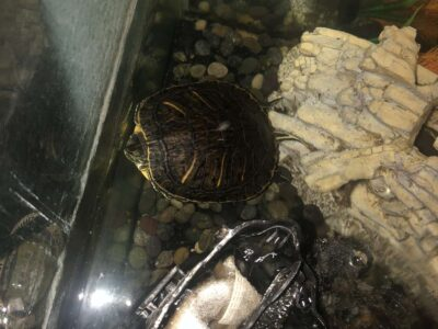 Two Red-Eared Sliders for Sale