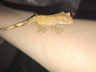 Baby Crested Gecko (tank included)