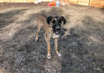 Harley: 1-yo Fawn/Brindle Great Dane