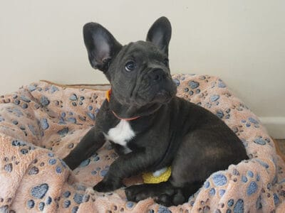 French Bulldog Puppy For Adoption
