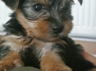 Beautiful Yorkie Puppies 11-12 week old!!