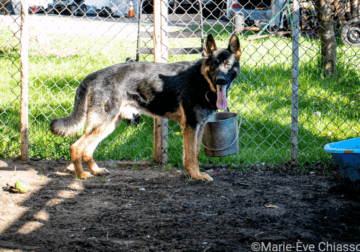 German Shepherd COMING SOON CKC registered