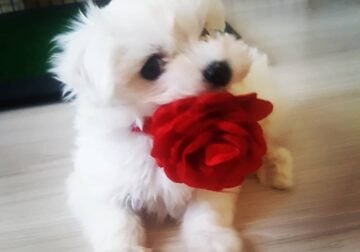 Teacup Maltese puppies For Sale – Snow White