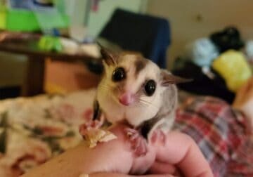 12 week old sugar glider