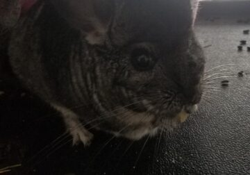 Rehoming Chinchilla w/Cage and Accessories