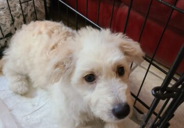Need to rehome Male Maltipoo