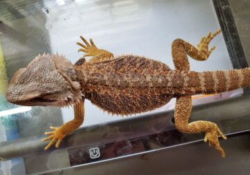 Sweet young male bearded dragon