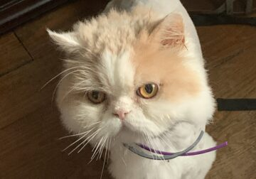 Persian Cat, shots, fixed, friendly
