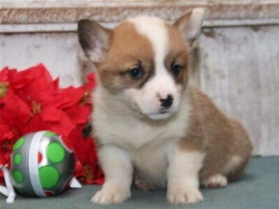 AKC registered Corgi