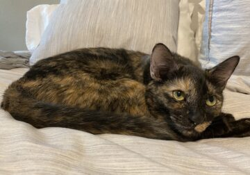 Sweetest Torti 2 year old cat
