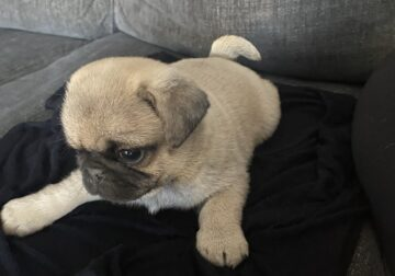 pug male puppies