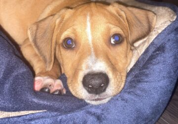 Black mouth cur puppy for sale