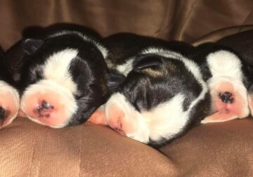 Puppies due in a week
