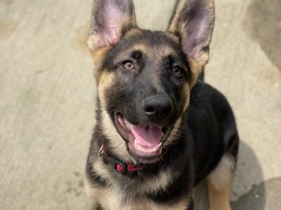 AKC Registered German shepherd puppies