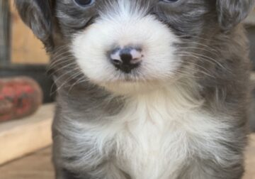 AussieDoodle looking for a forever home