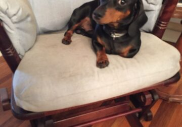1 year old CKC Black and Tan male dachshund.