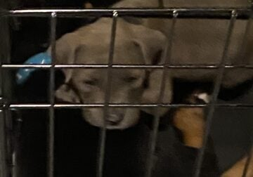 Blue nose pit bull puppy for sale