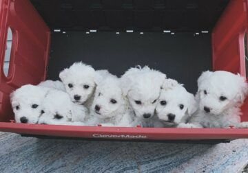 Bichon Frise Puppies Ready for Their Forever Home
