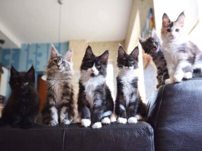 Beautiful Colored Maine Coon kittens
