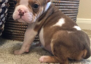 AKC English Bulldog Puppies For Sale