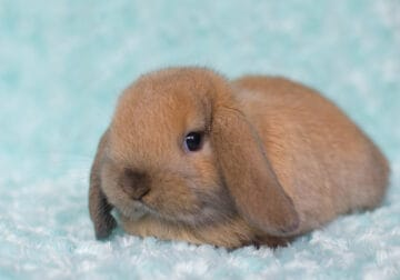 Holland Lop Baby Bunny