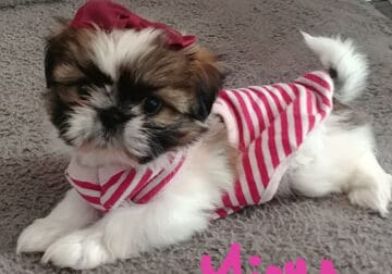 SHIH-POO PUPPIES WITH IMPERIAL MARKINGS