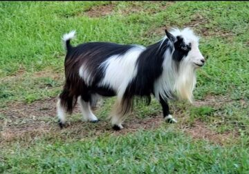 Nigerian Dwarf Goats for sale (adult males)