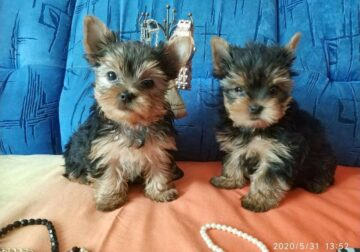 ~*~YORKSHIRE TERRIER FEMALE & MALE- STUNNING PUPS