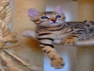 Bengal and F2 Savannah kittens Available